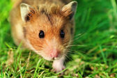 Hamster on the grass — Stock Photo