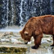 Brown Bear in a Zoo - Stock Photo