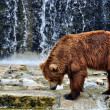 Brown Bear in a Zoo - Photo