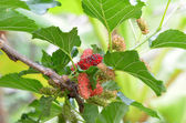 Mulberry — Stock fotografie