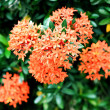 Red Ixora — Stock Photo