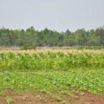 Field of corn — Stock Photo #9924052