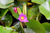 Waterlilies — Stock Photo
