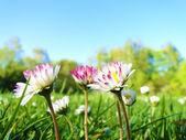 Pushing daisies — Stock Photo