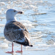 Frozen seagull - Stock Photo