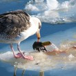 Duck vs. Gull or And the winner is...: — Stock Photo