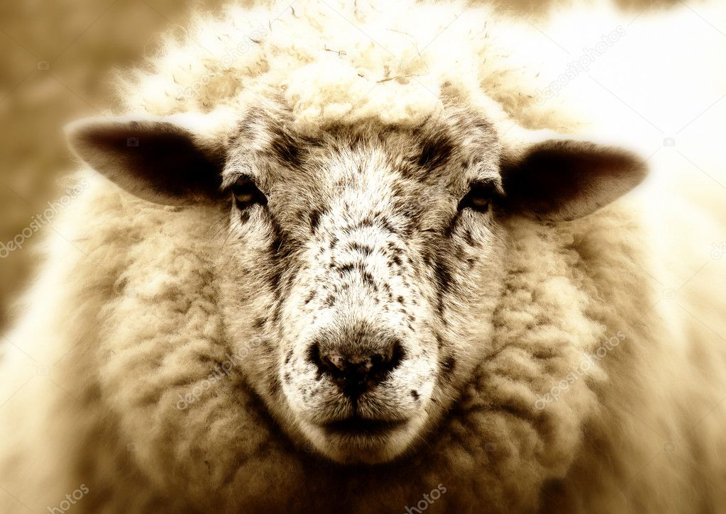 An old sheep look stupid out of the laundry — Stock Photo #9409490
