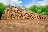 Pine timber stacked at lumber yard — Stock Photo