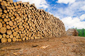 Pine timber stacked at lumber yard — Foto Stock