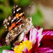 Painted Lady butterfly, Vanessa cardui — Stock Photo
