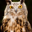 Stock Photo: Portrait of Eurasieagle owl