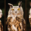 Collection of portrait images of Eurasian eagle owl — Stock Photo