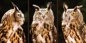 Collection of portrait images of Eurasian eagle owl — Стоковое фото