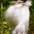 Male kori bustard (Ardeotis kori) in full mating display in forested habitat — Stock Photo