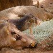 Warthog family resting - Stock Photo