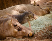 Warthog family resting — Photo