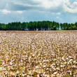 Stock Photo: Cotton field in Alabama