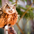 Portrait of Eurasian eagle owl — Stock Photo