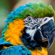 Close up portrait of blue and yellow macaw. — Stock Photo #9677522