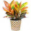 Stock Photo: Croton house plant isolated on white background