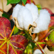 Close up of cotton boll on plant — Stock Photo #9677574