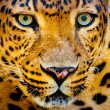 Close up portrait of leopard with intense eyes — Stok fotoğraf