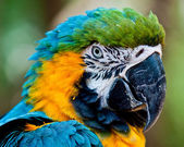Close up portrait of blue and yellow macaw. — Stock Photo