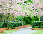 Curving residential sidewalk with blooming cherry trees during spring — Stock Photo
