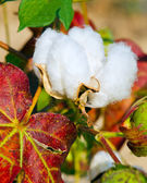 Close up of cotton boll on plant — Stock Photo