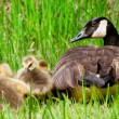 Canadian goose and her goslings during spring. - Stock Photo