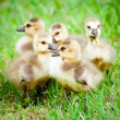 Young Canadian goslings — Stock Photo