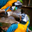 Stock Photo: Blue and yellow macaws.