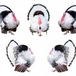 Stock Photo: Composite of turkeys in different poses isolated on white.