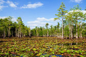 Cypress trees lily pads in Florida swamp — Stock Photo
