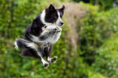 Border collie dog in midair after jumping off dock into water. — Stock Photo
