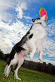 Border Collie dog jumps and catches disc — Stock Photo