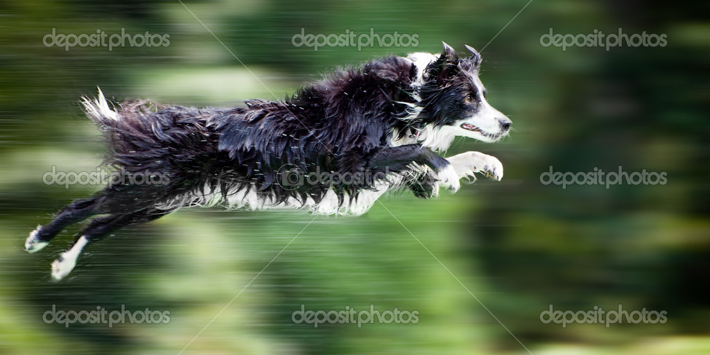 Wet border collie dog in midair after jumping off dock into water, with panning motion blur. — Stock Photo #9906977