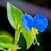 Asiatic blue dayflower close up. — Stock Photo