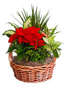 Poinsettia arrangement in basket — Stock Photo