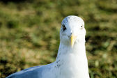 The eyes of the seagull — Stock Photo