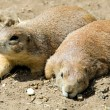 The prairie dog — Stock Photo