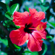 Hibiscus — Stock Photo #9503697