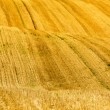 Stock Photo: Hills in wheat fields