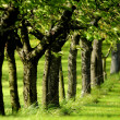 Stock Photo: Line of trees in leaf green