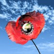 Stock Photo: Red poppy and earth