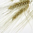 Wheat — Stock Photo #8599660