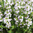 Thyme — Stock Photo