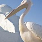 Pelican — Foto Stock #9054244