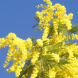 Royalty-Free Stock Photo: Mimosa blossoms