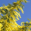 Mimosa blossoms - Stock Photo
